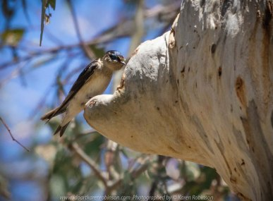 Greenvale, Victoria - Australia 'Woodlands Historical Park' Photographed by Karen Robinson November 2018 Comments - a Day with daughter, grand daughter and hubby walking through this historical park taking photographs of animals and birds. Photograph featuring Tree Martin Swallow.
