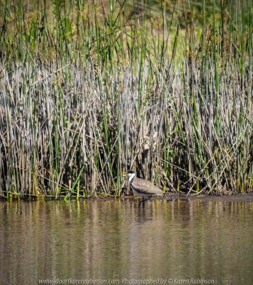 Seymour, Victoria - Australia 'Mark's 66th Birthday - Goulburn River near Caravan Park' Photographed by Karen Robinson November 2018 Comments - Day out with daughter Kelly, son-in-law Matt, grand daughter Maddie, hubby Mark and Karen fishing for Mark's Birthday. Photograph featuring a Masked Lapwing (Spur-winged Plover) stalking through the Goulburn river's edge.