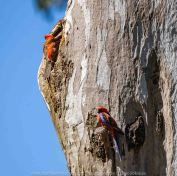 Seymour, Victoria - Australia 'Mark's 66th Birthday - Goulburn River near Caravan Park' Photographed by Karen Robinson November 2018 Comments - Day out with daughter Kelly, son-in-law Matt, grand daughter Maddie, hubby Mark and Karen fishing for Mark's Birthday. Photograph featuring two Crimson Rosellas feeding on small insects located within the nooks of the tree trunk.