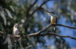 Seymour, Victoria - Australia 'Mark's 66th Birthday - Goulburn River near Caravan Park' Photographed by Karen Robinson November 2018 Comments - Day out with daughter Kelly, son-in-law Matt, grand daughter Maddie, hubby Mark and Karen fishing for Mark's Birthday. Photograph featuring a pair of Sacred Kingfisher Birds. One female on the left and male on the right.