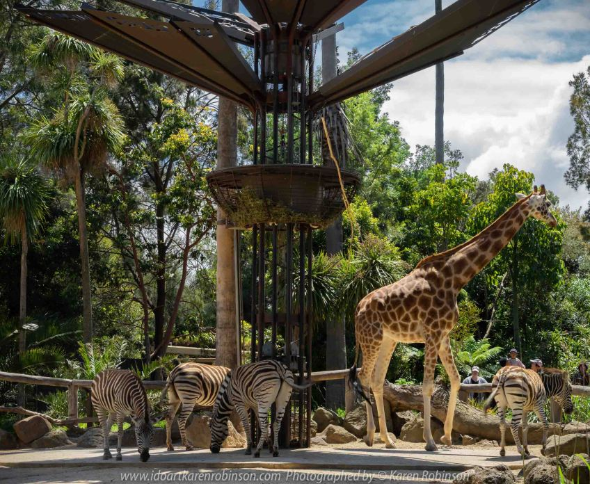 Parkville, Victoria - Australia 'Melbourne Zoo - Day 1' Photographed by Karen Robinson December 2018 Comments - We just became members of The Royal Melbourne Zoo and this was our first visit for decades, and how it has changed. Hubby and I spent just a couple of hours there with the intent to come back many other times during next year. Photograph featuring striking Zebras living alongside of the Giraffes.