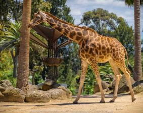 Parkville, Victoria - Australia 'Melbourne Zoo - Day 1' Photographed by Karen Robinson December 2018 Comments - We just became members of The Royal Melbourne Zoo and this was our first visit for decades, and how it has changed. Hubby and I spent just a couple of hours there with the intent to come back many other times during next year. Photograph featuring tall, elegant giraffes