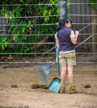 Parkville, Victoria - Australia 'Melbourne Zoo - Day 2' Photographed by Karen Robinson December 2018 Comments - Hubby and I decided to spend another day at the Zoo, this time concentrating on photographing the elephants. Photograph featuring Zoo Keeper collecting elephant poo!
