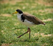 Werribee, Victoria - Australia 'Victoria State Rose Garden' Photographed by Karen Robinson November 2018 Comments - Just outside of the rose gardens we found ourselves sighting numerous birds. Photograph featuring Masked Lapwing (Spur-winged Plover).