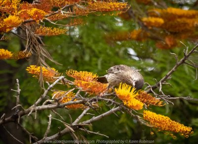 Werribee, Victoria - Australia 'Victoria State Rose Garden' Photographed by Karen Robinson November 2018 Comments - Just outside of the rose gardens we found ourselves sighting numerous birds. Photograph featuring Red Wattle Bird.