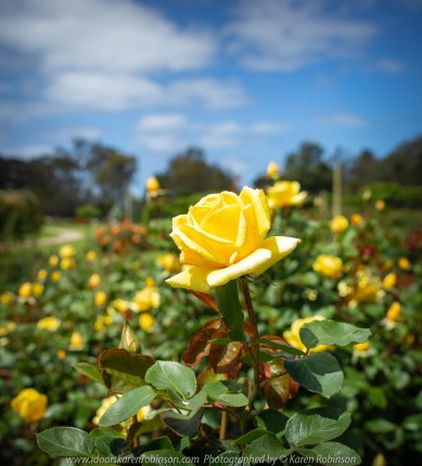Werribee, Victoria - Australia 'Victoria State Rose Garden' Photographed by Karen Robinson November 2018 Comments - Beautiful display of colourful roses.