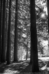 East Warburton, Victoria - Australia 'Redwood Forest and Cement Creek East Branch' Photographed by Karen Robinson December 2018 Comments: Wonderful stroll through the forest with a bonus finding the creek surrounded by lush green vegetation. Photograph featuring Redwood Forest edge with morning sunlight streaming through the branches of the trees - monochrome style.