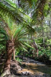 East Warburton, Victoria - Australia 'Redwood Forest and Cement Creek East Branch' Photographed by Karen Robinson December 2018 Comments: Wonderful stroll through the forest with a bonus finding the creek surrounded by lush green vegetation. Photograph featuring Lace Tree Ferns around the Cement Creak East Branch area.
