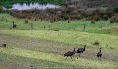 Bruthen, Victoria - Australia 'Wards Road Region' Photographed by Karen Robinson December 2018 Comments - Early morning drive along Wards Road, a back road that winds through beautiful local farming properties. Photograph featuring wild Emus wondering through local farmlands towards forrest.