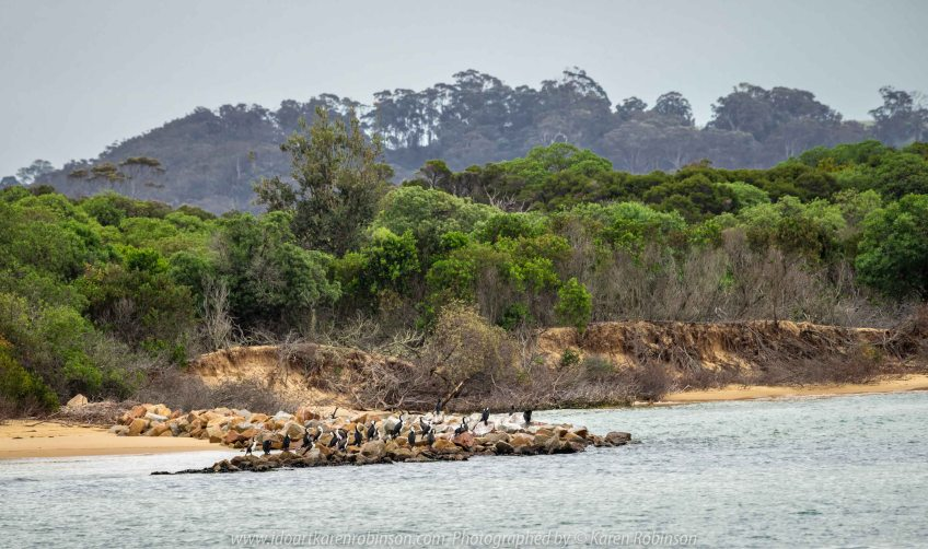 Lakes Entrance, Victoria - Australia 'Shoreline and Harbour Views' Photographed by Karen Robinson January 2019 Comments - On our way to see hubby's brother, we made a slight detour to visit this area. The weather was overcast but still pleasant. It was difficult to photography scenes I wanted and I realised that aerial shots would be best, so we went to a couple of lookouts to help capture some overview shots of Lakes Entrance. Photograph featuring Pied Cormorants.