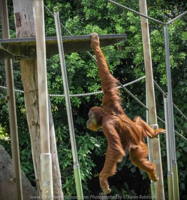 Parkville, Victoria - Australia 'Melbourne Zoo Trip 3' Photographed by Karen Robinson January 2019 Comments - Hubby and I decided to spend another day at the Zoo, this time concentrating on photographing the Sumatran Orang-utans.