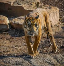 Parkville, Victoria - Australia 'Melbourne Zoo Trip 4' Photographed by Karen Robinson January 2019 Comments - Hubby and I decided to spend another day at the Zoo, this time concentrating on photographing the Sumatran Tiger.