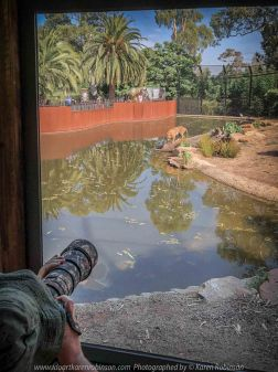 Parkville, Victoria - Australia 'Melbourne Zoo Trip 4' Photographed by Karen Robinson January 2019 Comments - Hubby and I decided to spend another day at the Zoo, this time concentrating on photographing the Sumatran Tiger. Photograph featuring Karen Robinson Photographer