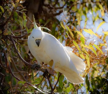 Westmeadows, Victoria - Australia 'Sulphur-crested Cockatoo' Photographed by Karen Robinson Nov 2018 Comments - Sulphur-crested Cockatoo living in the hollow of an old gumtree located alongside of a busy local back-street. Comes each year at the same time to nest.