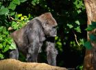 Parkville, Victoria - Australia 'Melbourne Zoo Trip 5' Photographed by Karen Robinson January 2019 Comments - Hubby and I decided to spend another day at the Zoo, this time concentrating on photographing the Western Lowland Gorillas.