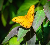 Parkville, Victoria - Australia 'Melbourne Zoo Trip 6' Photographed by Karen Robinson February 2019 Comments - Hubby and I decided to spend another day at the Zoo, this time concentrating on photographing Native Australian tropical and subtropical Butterflies in the Zoo's magnificent tropical glasshouse.