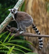 Parkville, Victoria - Australia 'Melbourne Zoo Trip 7' Photographed by Karen Robinson February 2019 Comments - This time it was about photographing the Ring-tailed and the Black and White Ruffed Lemurs.