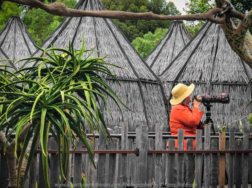 Parkville, Victoria - Australia 'Melbourne Zoo Trip 7' Photographed by Karen Robinson February 2019 Comments - This time it was about photographing the Ring-tailed and the Black and White Ruffed Lemurs. Photograph featuring Karen Robinson Photographer