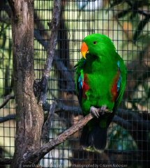 Parkville, Victoria - Australia 'Melbourne Zoo Trip 8' Photographed by Karen Robinson March 2019 Comments - This time it was about photographing Birds within the Walk-through Aviary. Photograph featuring Male Eclectus Parrot.