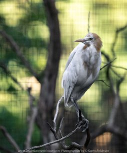 Parkville, Victoria - Australia 'Melbourne Zoo Trip 8' Photographed by Karen Robinson March 2019 Comments - This time it was about photographing Birds within the Walk-through Aviary. Photograph featuring Cattle Egret.