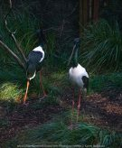 Parkville, Victoria - Australia 'Melbourne Zoo Trip 8' Photographed by Karen Robinson March 2019 Comments - This time it was about photographing Birds within the Walk-through Aviary. Photograph featuring Black-necked Stork.
