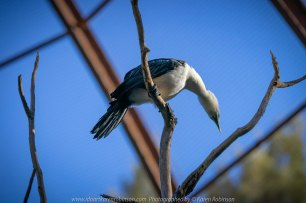 Parkville, Victoria - Australia 'Melbourne Zoo Trip 8' Photographed by Karen Robinson March 2019 Comments - This time it was about photographing Birds within the Walk-through Aviary. Photograph featuring Little Pied Cormorant.