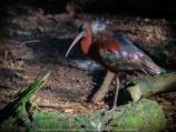 Parkville, Victoria - Australia 'Melbourne Zoo Trip 8' Photographed by Karen Robinson March 2019 Comments - This time it was about photographing Birds within the Walk-through Aviary. Photograph featuring Glossy Ibis.