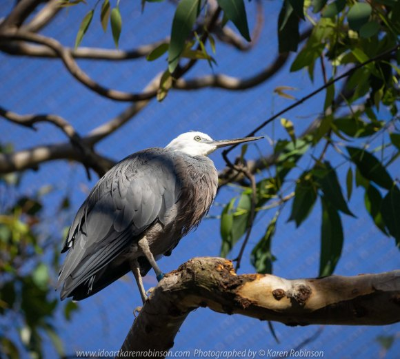 Parkville, Victoria - Australia 'Melbourne Zoo Trip 8' Photographed by Karen Robinson March 2019 Comments - This time it was about photographing Birds within the Walk-through Aviary. Photograph featuring White-faced Heron.