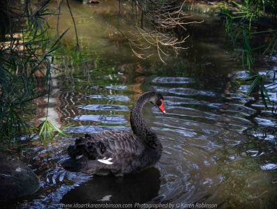 Parkville, Victoria - Australia 'Melbourne Zoo Trip 8' Photographed by Karen Robinson March 2019 Comments - This time it was about photographing Birds within the Walk-through Aviary. Photograph featuring Black Swan.