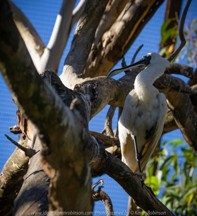Parkville, Victoria - Australia 'Melbourne Zoo Trip 8' Photographed by Karen Robinson March 2019 Comments - This time it was about photographing Birds within the Walk-through Aviary. Photograph featuring Royal Spoonbill.