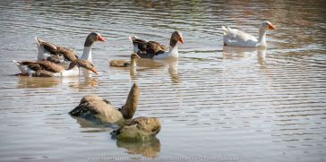 Sunbury, Victoria - Australia 'Spavin Drive Lake & Jacksons Creek' Photographed by Karen Robinson Nov 2018 Comments - A couple of hours spent photographing local bird wildlife. Photography featuring Greylag and Emden Geese.