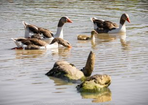 Sunbury, Victoria - Australia 'Spavin Drive Lake & Jacksons Creek' Photographed by Karen Robinson Nov 2018 Comments - A couple of hours spent photographing local bird wildlife. Photography featuring Greylag Geese.