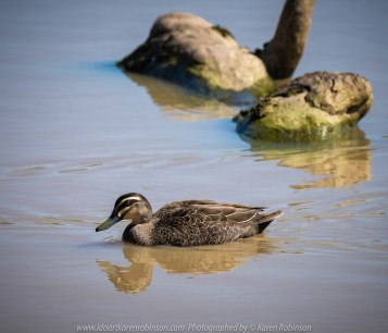 Sunbury, Victoria - Australia 'Spavin Drive Lake & Jacksons Creek' Photographed by Karen Robinson Nov 2018 Comments - A couple of hours spent photographing local bird wildlife. Photography featuring the Pacific Black Duck.