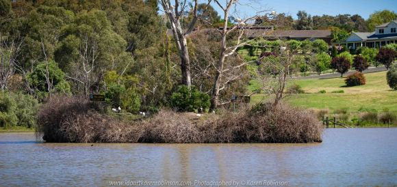 Sunbury, Victoria - Australia 'Spavin Drive Lake & Jacksons Creek' Photographed by Karen Robinson Nov 2018 Comments - A couple of hours spent photographing local bird wildlife. Photograph featuring Australian White Ibis.