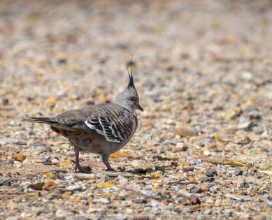 Sunbury, Victoria - Australia 'Spavin Drive Lake & Jacksons Creek' Photographed by Karen Robinson Nov 2018 Comments - A couple of hours spent photographing local bird wildlife. Photograph featuring Crested Pigeon.