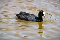 Sunbury, Victoria - Australia 'Spavin Drive Lake & Jacksons Creek' Photographed by Karen Robinson Nov 2018 Comments - A couple of hours spent photographing local bird wildlife. Photograph featuring Eurasian Coot.
