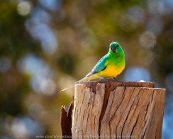 Sunbury, Victoria - Australia 'Spavin Drive Lake & Jacksons Creek' Photographed by Karen Robinson Nov 2018 Comments - A couple of hours spent photographing local bird wildlife. Photograph featuring Orange-bellied Parrot.