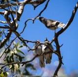 Sunbury, Victoria - Australia 'Spavin Drive Lake & Jacksons Creek' Photographed by Karen Robinson Nov 2018 Comments - A couple of hours spent photographing local bird wildlife. Photograph featuring Yellow Throated Miners.