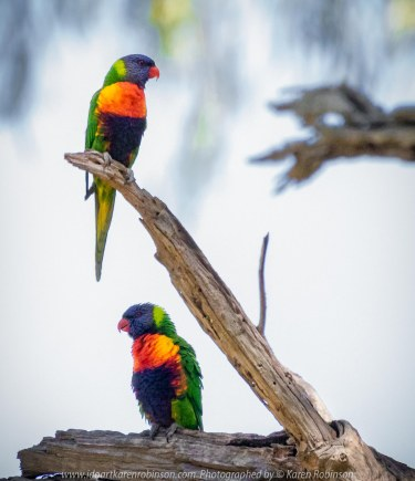 Sunbury, Victoria - Australia 'Spavin Drive Lake & Jacksons Creek' Photographed by Karen Robinson Nov 2018 Comments - A couple of hours spent photographing local bird wildlife. Photograph featuring Rainbow Lorikeet.