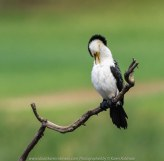 Werribee South, Victoria - Australia 'Werribee River K Road' Photograph by Karen Robinson February 2019 Comments - A morning out with hubby and me with granddaughter and daughter photographing rare sighting of an Eastern Osprey water bird. Photograph featuring Little Pied Cormorant.