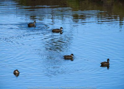 Werribee South, Victoria - Australia 'Werribee River K Road' Photograph by Karen Robinson February 2019 Comments - A morning out with hubby and me with granddaughter and daughter photographing rare sighting of an Eastern Osprey water bird. Photograph featuring Pacific Black Ducks.