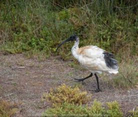 Werribee South, Victoria - Australia 'Werribee River K Road' Photograph by Karen Robinson February 2019 Comments - A morning out with hubby and me with granddaughter Maddie and daughter photographing rare sighting of an Eastern Osprey water bird. Photograph featuring Australian White Ibis.