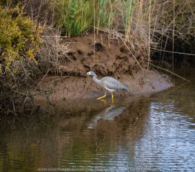 Werribee South, Victoria - Australia 'Werribee River K Road' Photograph by Karen Robinson February 2019 Comments - A morning out with hubby and me with granddaughter and daughter photographing rare sighting of an Eastern Osprey water bird. Photograph featuring White Faced Heron.