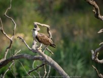 Werribee South, Victoria - Australia 'Werribee River K Road' Photograph by Karen Robinson February 2019 Comments - A morning out with hubby and me with granddaughter and daughter photographing rare sighting of an Eastern Osprey water bird. Photograph featuring Eastern Osprey..