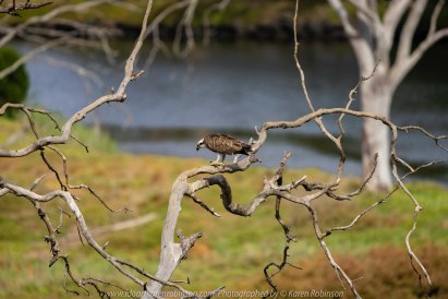 Werribee South, Victoria - Australia 'Werribee River K Road' Photograph by Karen Robinson February 2019 Comments - A morning out with hubby and me with granddaughter and daughter photographing rare sighting of an Eastern Osprey water bird. Photograph featuring Eastern Osprey.