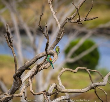 Werribee South, Victoria - Australia 'Werribee River K Road' Photograph by Karen Robinson February 2019 Comments - A morning out with hubby and me with granddaughter and daughter photographing rare sighting of an Eastern Osprey water bird. Photograph featuring male and female Red-rumped Parrot.