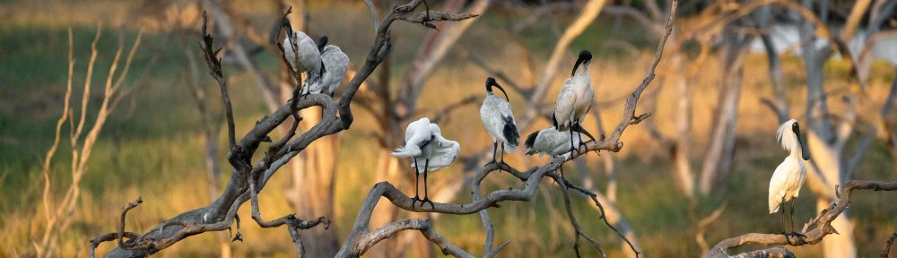 Werribee South, Victoria - Australia 'Werribee River K Road' Photograph by Karen Robinson February 2019 Comments - A morning out with hubby and me with granddaughter and daughter photographing rare sighting of an Eastern Osprey water bird. Photograph featuring Australian White Ibis. Photograph featuring Royal Spoonbill