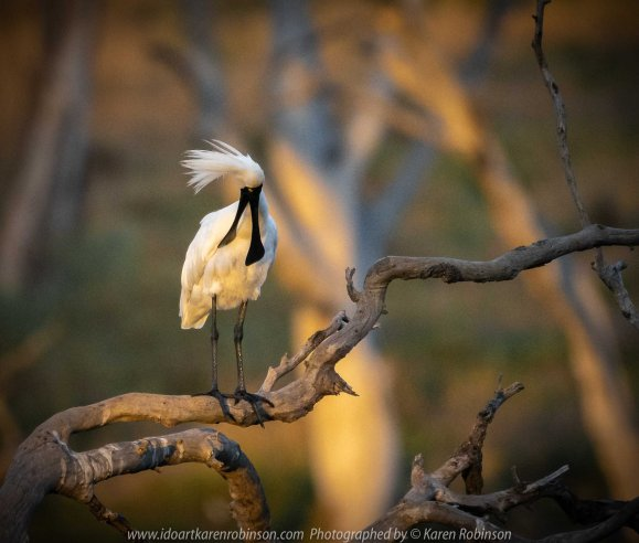Werribee South, Victoria - Australia 'Werribee River K Road' Photograph by Karen Robinson February 2019 Comments - A morning out with hubby and me with granddaughter and daughter photographing rare sighting of an Eastern Osprey water bird. Photograph featuring Royal Spoonbill