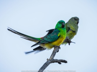 Werribee South, Victoria - Australia 'Werribee River K Road' Photograph by Karen Robinson February 2019 Comments - A morning out with hubby and me with granddaughter and daughter photographing rare sighting of an Eastern Osprey water bird. Photograph featuring Red-rumped Parrot.
