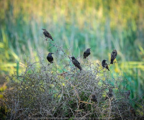 Werribee South, Victoria - Australia 'Werribee River K Road' Photograph by Karen Robinson February 2019 Comments - A morning out with hubby and me with granddaughter and daughter photographing rare sighting of an Eastern Osprey water bird. Photograph featuring Common Starlings.